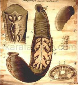 پرورش زالو - آناتومی زالو